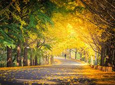 秋日里最美的银杏与红叶